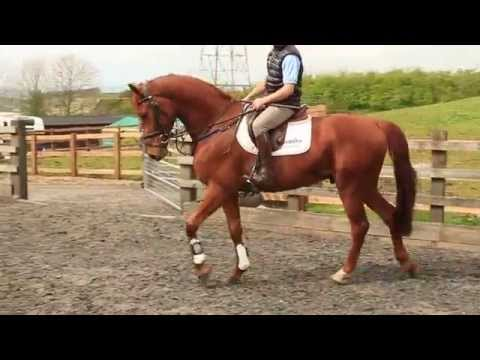 4 Year old 16.2 Gelding For Sale | Shadow Sports Horses