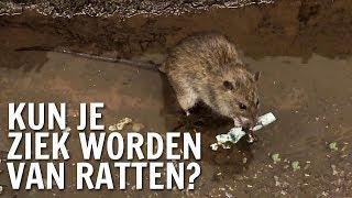 Kun je ziek worden van ratten? | De Buitendienst over Ratten