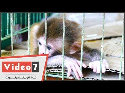 حديقة الحيوان تكلف عامل بإرضاع مولود صغير من -القردة-  - 13:21-2017 / 6 / 21