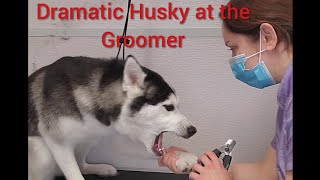 Crazy Dramatic Siberian Husky at the groomer