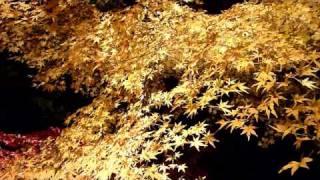 本土寺の紅葉・ライトアップ2009