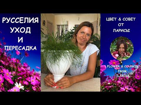 РУССЕЛИЯ УХОД И ПЕРЕСАДКА | Коралловый папоротник