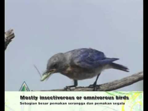 Editing video dengan Adobe Premiere CS3 - karakteristik blue bird