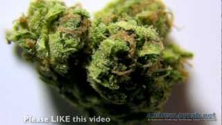 BLUE CHEESE Amsterdam Weed Review