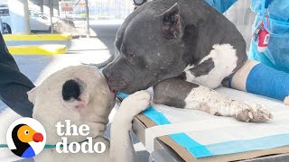 Pitties Who Lost Their Dad Do a Magical Thing When Meeting Their New Family | The Dodo Pittie Nation