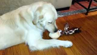 English Cream Golden Retriever Playing With Kong Floppy Ear Wubba Dog Toy - 1 Year Old