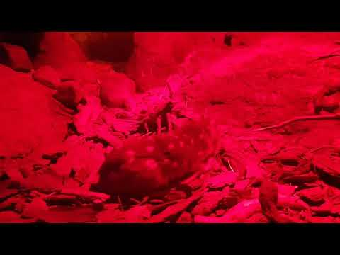 Eastern quoll on night exhibit