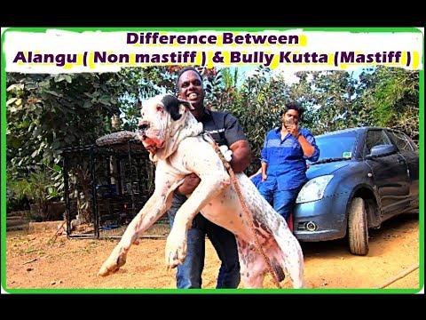 Difference Between Alangu ( Non mastiff  or Non Molosser ) And Bully Kutta (Mastiff  or Molosser )