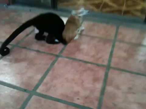 Congo monkey wrestles with dog