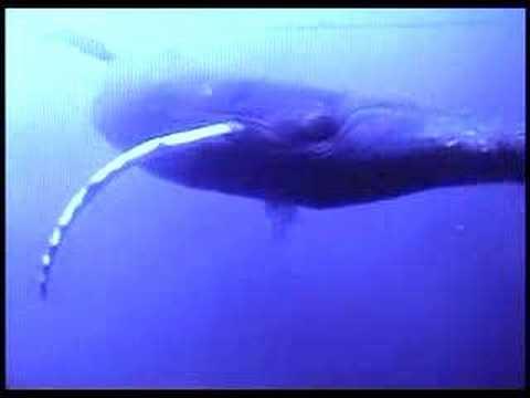 whale penile bone