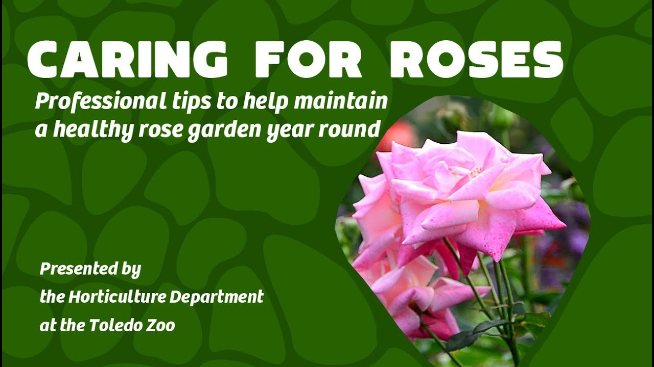 How to take care of roses - Caring For Your Rose Garden Year Round Professional Tips