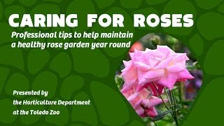 Caring for your Rose Garden Year Round - Professional Tips