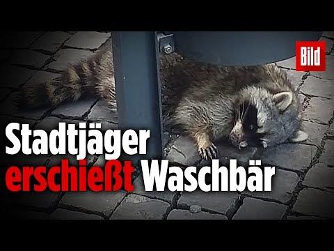 Trauriges Ende um den betrunkenen Waschbären vom Erfurter Weihnachtsmarkt