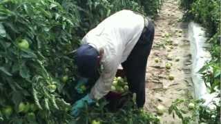 La Pisca de Tomate en Quincy Florida thumbnail