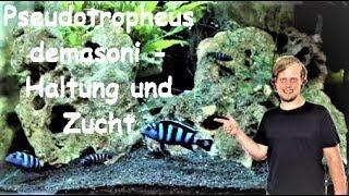 Pseudotropheus demasoni - Haltung und Zucht eines kleinen Farbwunders