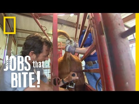 Castrating a Bull | Jobs That Bite