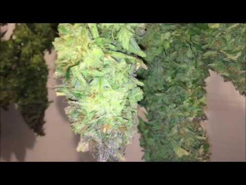 AMAZING WEED HARVEST! CANNABIS PLANTS HARVEST 2016