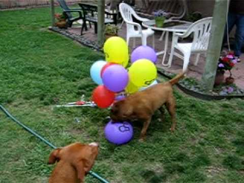 Balloon popping dog.