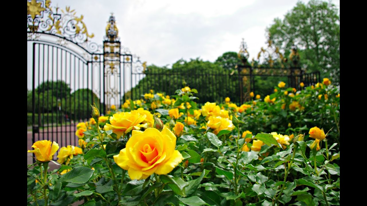 Beautiful rose gardens of the world - My Summer Walk Of Queen Mary S Garden Regents Park London Including The Rose Garden Youtube
