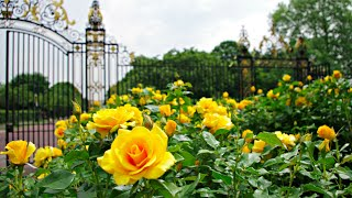 MY SUMMER WALK OF QUEEN MARY'S GARDEN REGENTS PARK LONDON INCLUDING THE ROSE GARDEN  🌹