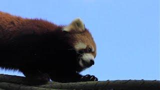 レッサーパンダ,上海動物園,Lesser panda,Red panda,Shang Hai Zoo,China,中華人民共和国,小熊猫,上海动物园