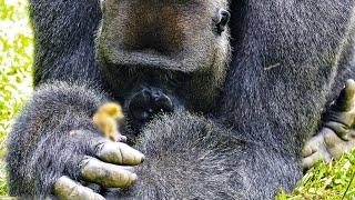 Самец гориллы никого к себе не подпускал и вел себя странно. Тогда сотрудники посмотрели на его руки