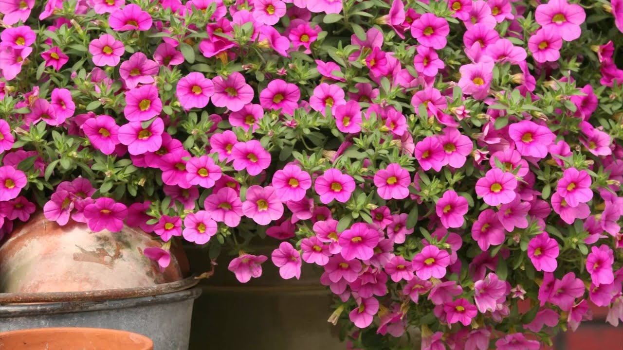 production tips for growers million bells calibrachoa youtube. Black Bedroom Furniture Sets. Home Design Ideas