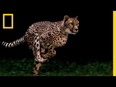 Cheetahs - World's Fastest Animal | National Geographic