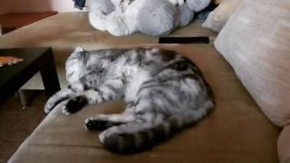 Коту снится сон.Милый котик))