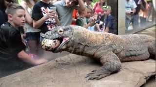 Komodo Dragon Smaug Enjoys an Easter Ostrich Egg