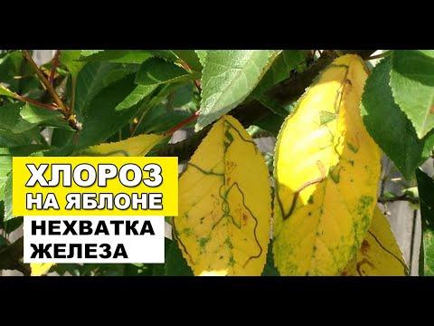 Желтые листья яблони - Хлороз или нехватка железа на яблоне 🍏🍎