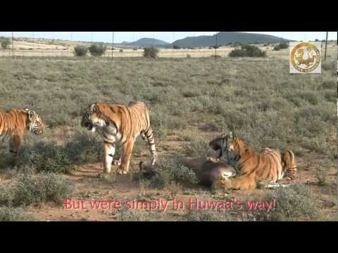 South China Tiger Huwaa First Witnessed Hunt