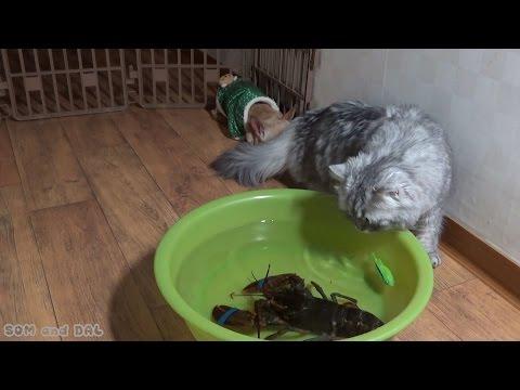 American Lobster VS Persian Cat