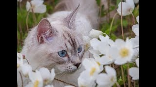 Невская маскарадная кошка Иркутск. Сюжет из программы Соседи по планете. ТК