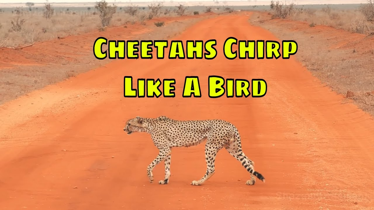 Cheetahs Chirp Like A Bird