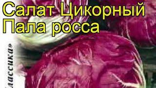 Салат цикорный Пала росса. Краткий обзор, описание характеристик, где купить семена