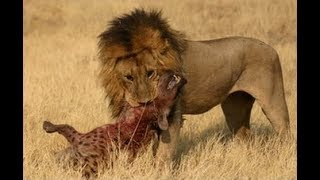 Animal attacks - Lions vs Hyenas - Animal Fights musk oxen and bears