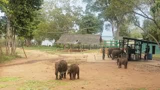 스리랑카 아기코끼리 고아원 점심시간/세계여행:스리랑카 …