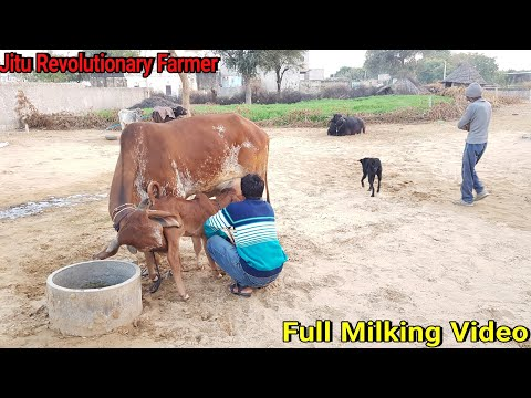 👍FOR SALE (GIR COW) Price- 86000 Rs. Milk Yield 20-22 Litre a day @ Churu, Rajasthan.👍