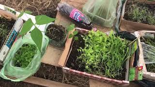 2 апреля теплица высаживаю на грядку сельдерей, салат , укроп , петрушку