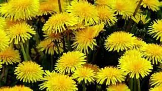 Применение цветов одуванчика. Настойка цветов одуванчика