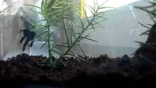 Avicularia versicolor l6 vs Świerszcz