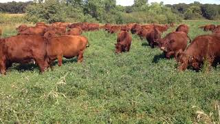 Grazing alfalfa