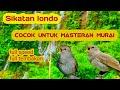 Sikatan Londo Cocok Buat Masteran Murai Full Isian  Mp3 - Mp4 Download