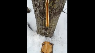Tapping Maples from Primitive to Contemporary Techniques