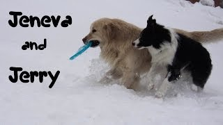 Border Collie Jeneva And Jerry Golden Retriever