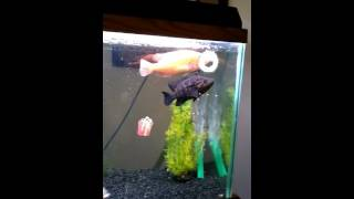 Jaguar cichlid,  red Bay snook,  five spot,  oscar