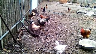 Мои голуби.Породы кинг