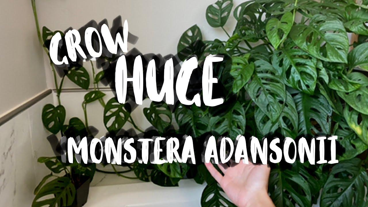Monstera Adansonii Houseplant Care! | Monstera Adansonii Plant Tips & Tricks