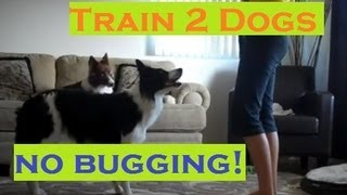 Train Two Dogs Around Each Other - No Bugging!
